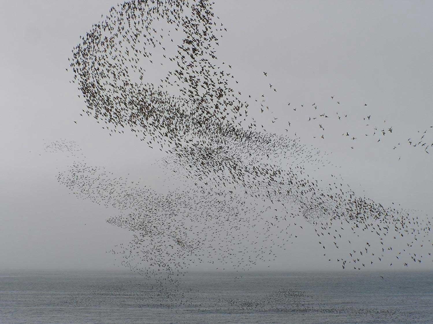 auklet_flock_